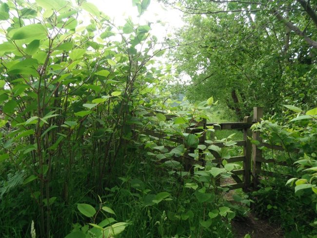 An example of a path network being gradually lost to Japanese knotweed - without control paths can easily be lost to this plant