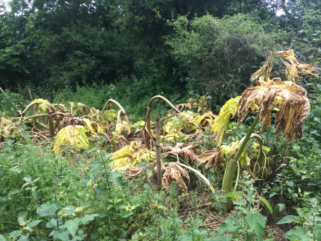 Giant Hogweed After Spraying This Year