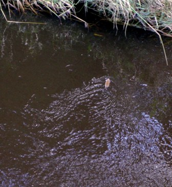 A water vole on the Irvine