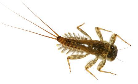 Mayfly Larvae Diagram Animalcarecollegefo